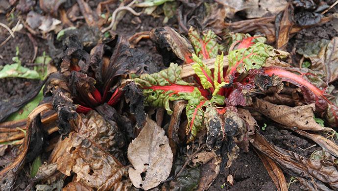 Der er stadig liv i bladbederne - i hvert fald i den ene.