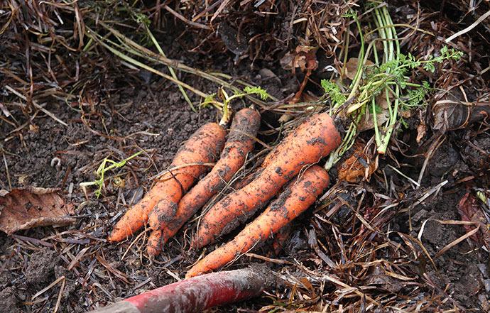 Gulerødderne ude i haven er virkelig fine, når de graves op. De er dækket med et tykt lag ålegræs mod frost.