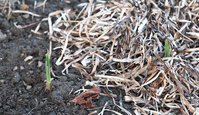 Hvidløgene skal nu have anden gang frostvejr. Sidste gang dækkede jeg nogle af dem med tang.