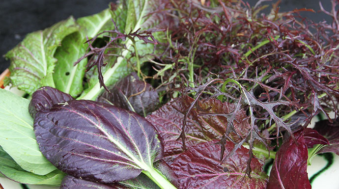 Orientalske bladgrønsager høstet på friland idag. Øverst th.Moutarde Rouge Metin, nederst th. rød spinatsennep, nederst tv. pak choi, øverst tv. Red Giant bladsennep