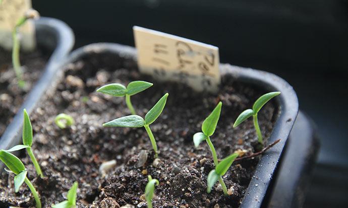 Kimplanter af peberfrugten California Wonder, som jeg dyrkede med succes sidste år.