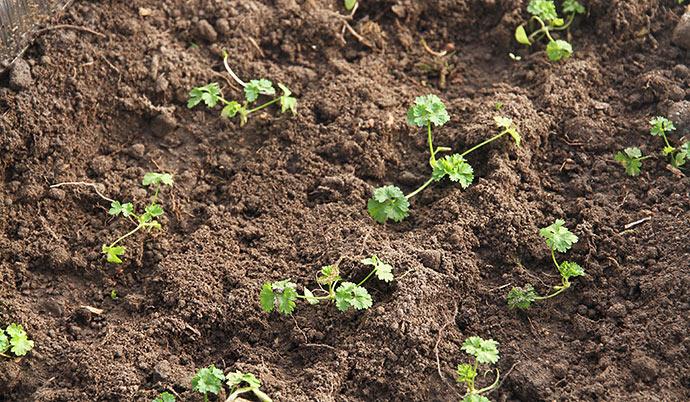 Persilleplanterne klarer sig fint - de blev plantet ud 28. januar.
