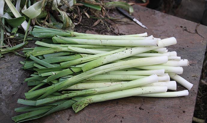 I dag har jeg høstet en stor portion porrer af sorten Blaugrüner. De holder sig ikke så godt som normalt derude. Sorten Aveno ser foreløbig bedre ud.