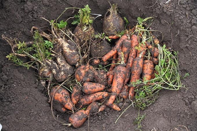 Kule i drivtunnel med et udvalg af rodfrugter: Persillerod, knoldselleri og to slags gulerødder.