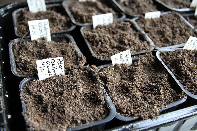 Frøene dækkes til med et tyndt lag jord.