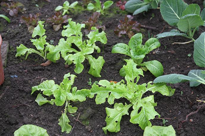 Grøn egebladet salat den 23. februar.