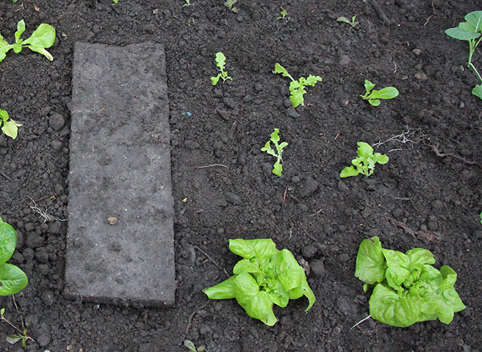 Nyplantede salatplanter 5. november.