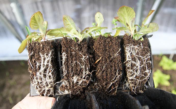 Helt fantastisk fine rødder på de små salatplanter.