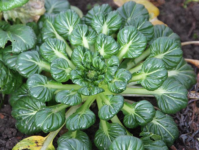 Tat soi er nok den plante, som er vokset mest hen over vinteren. Nu danner den blomsterknopper.