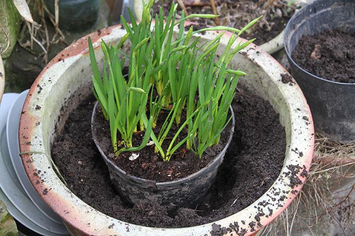 Det meste af jorden fjernes, når krukken med påskeliljerne sættes ned.