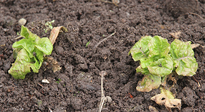 Sådan her ser de May King salatplanter ud, som blev sået først i september i pallerammen.