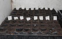 Løgene er blevet sået oi rootrainere med 2-3 frø pr. rum.