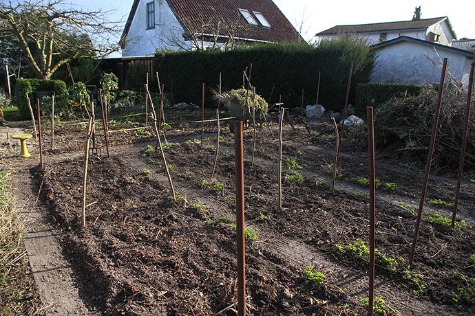 Det var forår i dag - med nykultiverede aspargesbede.