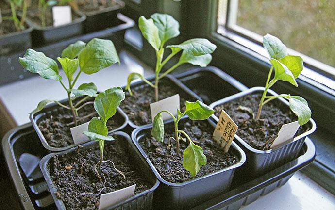 Den ene aubergineplante går nok til.