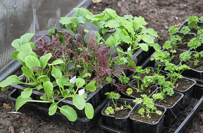 Til afhærdning - mon de kan tåle at blive plantet ud nu?