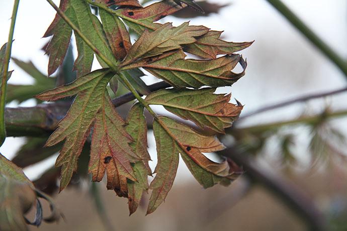 Brombærblade med sorte rusthobe på bagsiden.
