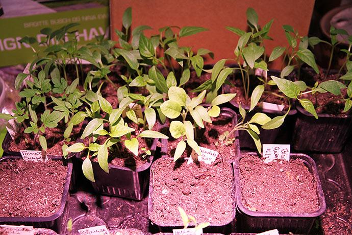 Bagerst potterne, som jeg lige har tyndet ud i. Forrest nyspirede planter fra ny hold såning.