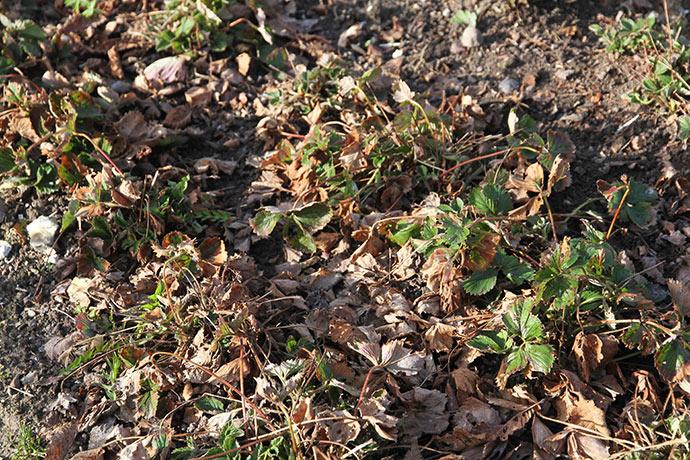Jordbærene har fået mange visne blade i løbet af vinteren.