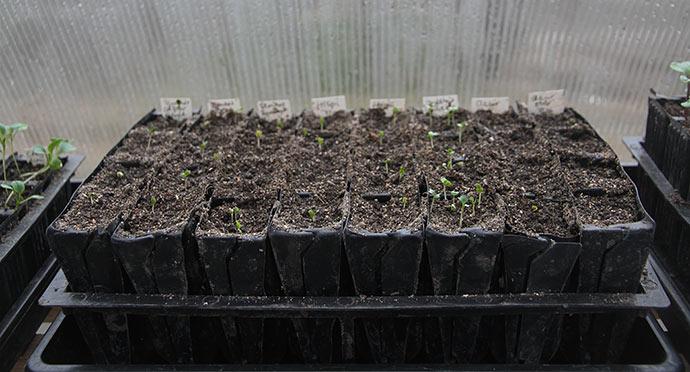 Nyt hold spidskål, knudekål og blomkål i kimplantestadiet.