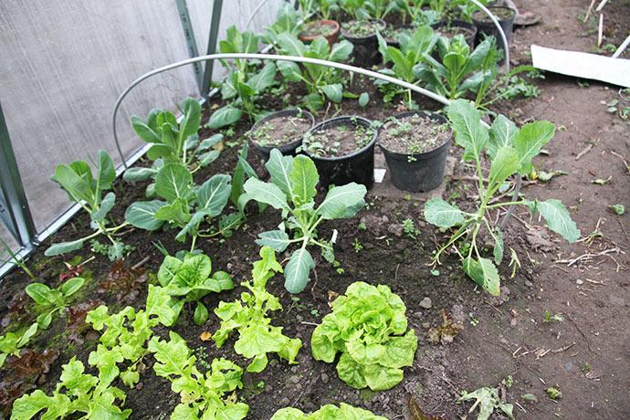 Salaten vokser rigtig godt nu, men kålene er på vej i stok i stedet for at danne hovede.