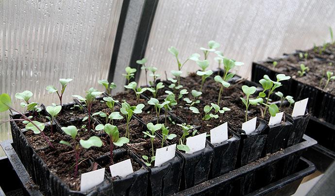 De først såede kål er ved at få rigtige blade. De kom også i drivtunnelen som kimplanter.