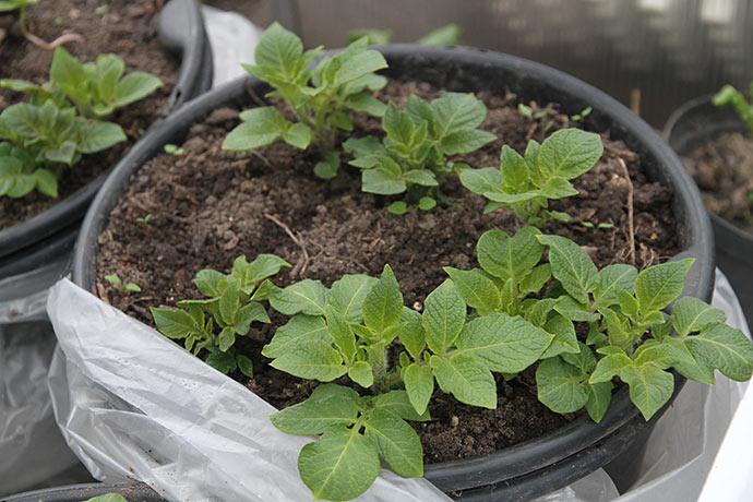 I drivtunnelen vokser de først satte kartofler rigtig fint.