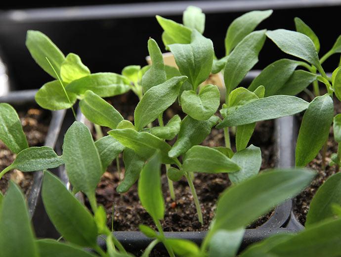 En potte med kraftige aubergineplanter. Jeg tror de virkelig sætter pris på LED vækstlys.