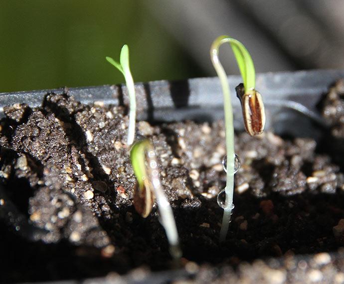 For nogle dage siden spirede de første knoldfennikel kimplanter frem.