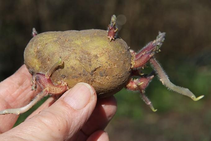 Der er fine spirer på læggekartoflerne. Annabelle spirer meget tidligt.