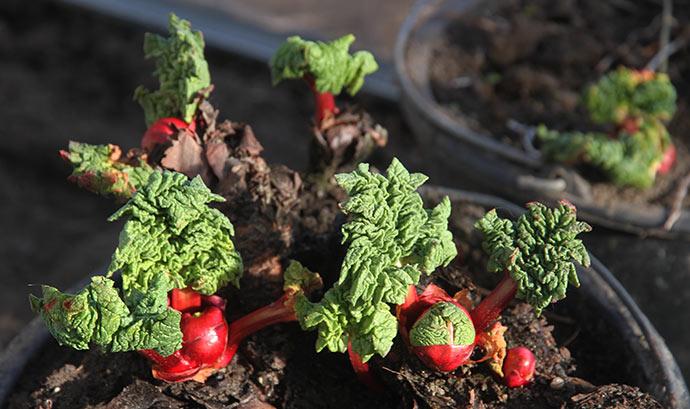 Endelig er der vækst i de to rabarberplanter, som står i drivtunnelen.