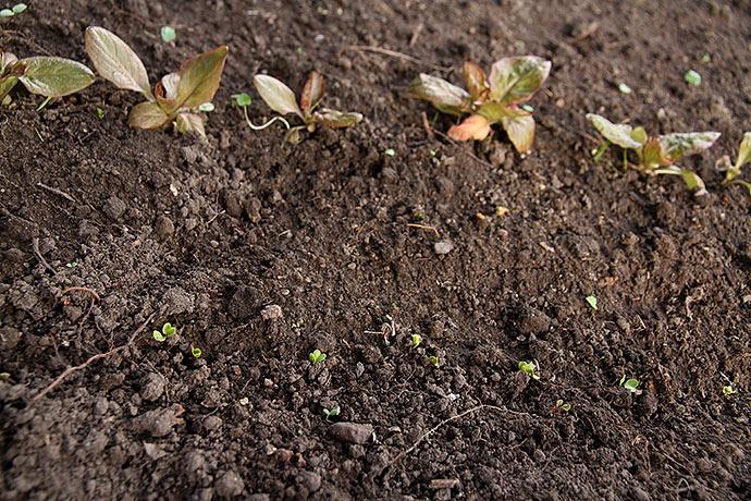 salatplanter, som er sået i efteråret. Ud over radiser er også salat og spinat på vej op.