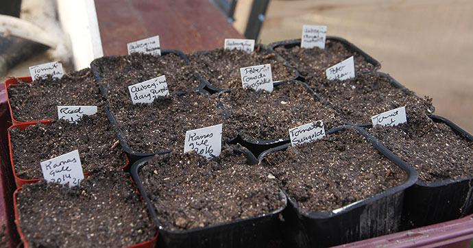 Et nyt hold tomater, auberginer og peber blev sået 2. marts.