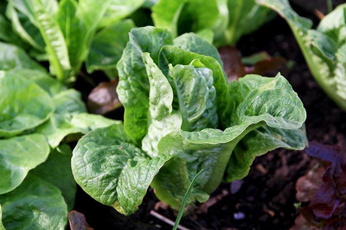 Et salathovede er på vej.