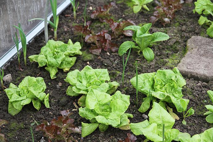 Det her er May King salat i drivtunnelen. Planterne blev hentet i pallerammen og plantet ind i drivhuset omkring 1. oktober.