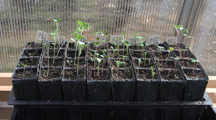 De små spidskålsplanter er blevet flyttet ud i drivtunnelen, hvor der er mere lys. De trænger virkelig til det.