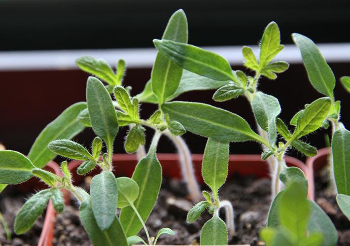 Tomaterne er ved at få først hold rigtige blade, og nu skal jeg tage stilling til, hvor mange planter, jeg skal have af hver sort. Der skal tyndes lidt.