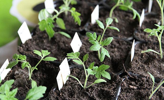 Jeg er godt tilfreds med tomatplanternes udseende i år. I morgen skal de ikke stå i solen, når de er nyplantede.