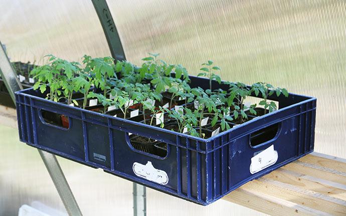 Tomatplanterne er sået for en måneds tid siden.
