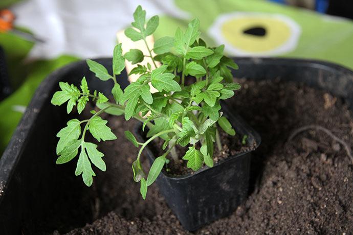 Potte med tomatplanter, der skal plantes ud i hver din potte. Det er Favorita - vores favoritsort.