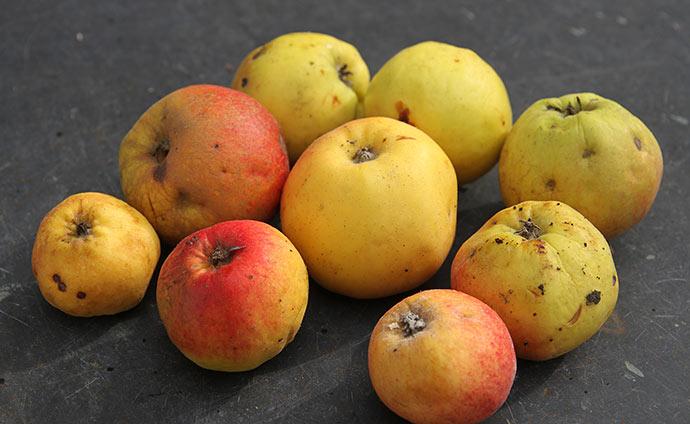 De allersidste Jonagold æbler.