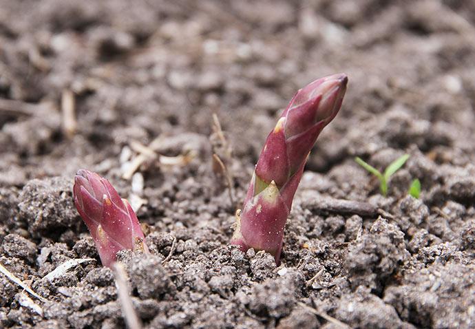 De første aspargesskud på vej op.