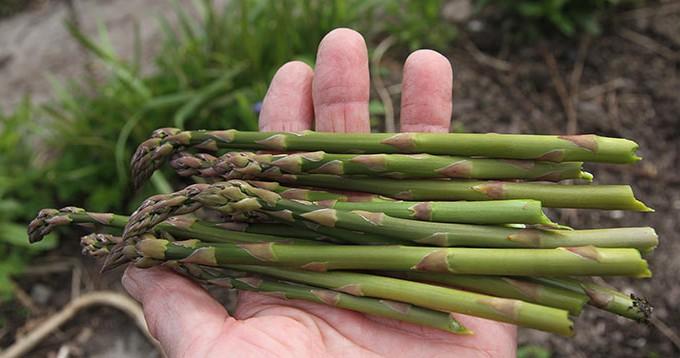 Årets første asparges.