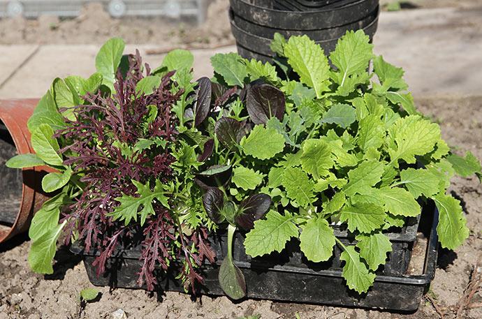 Bladgrønsager til udplantning. Rapini, choy sum, pak choi, komatsuna, mizuna, sennep.