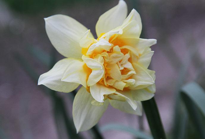Dobbelte påskeliljer med den dejligste duft.