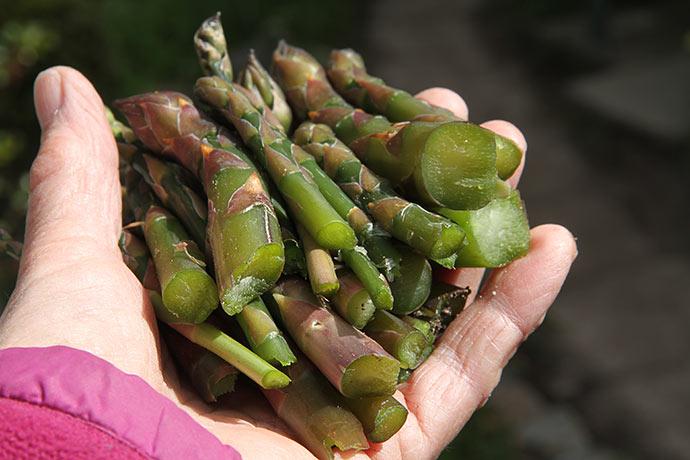 En hele håndfuld frostskadede små aspargesskud.