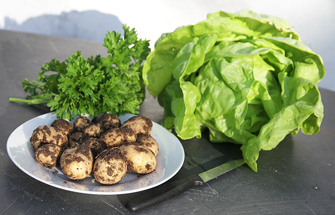 Alt er ny avl - persille, kartofler og salat.