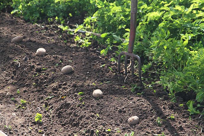 Bedet er ryddet og kartoflerne fordel - klar til at grave dem ned.
