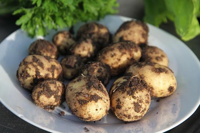 Dagens høst af nye kartofler - 200 g
