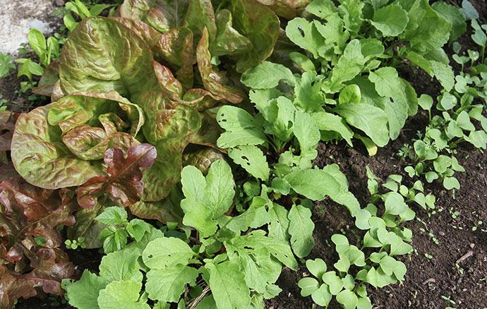 De høstklare radiser står midt i billedet mellem salatplanter og en ny række radiser på vej.