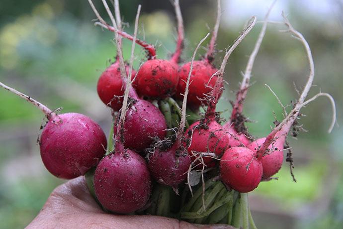 Sorterne er Pink Beaty, Rosa (den røde) og Malaga (lilla).